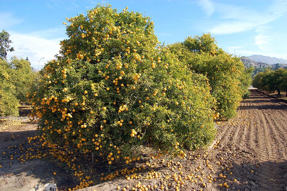 93 4 Citrus groves