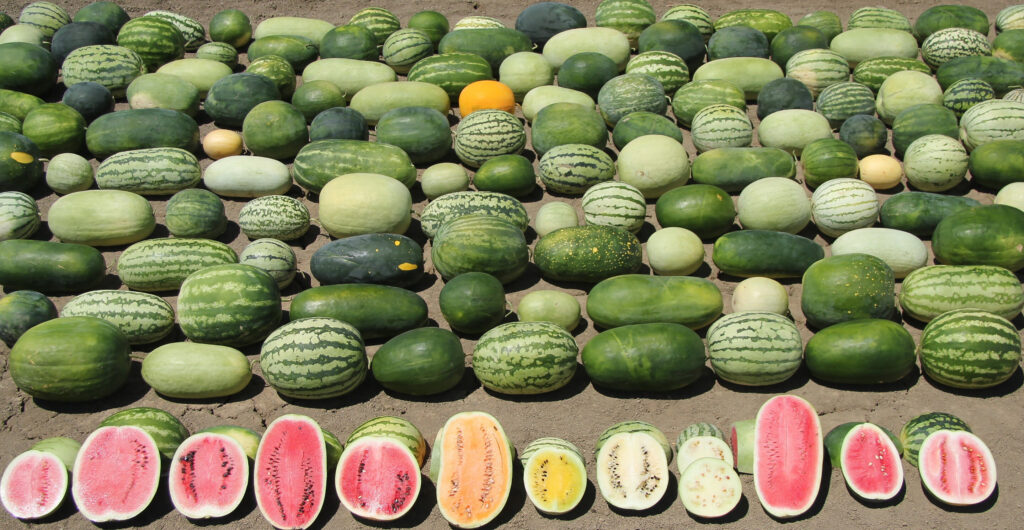 Overhead shot of dozens of different kinds of watermelons that vary in rind color, size and shape, with a row of cut fruit in front (with flesh colors ranging from pink to yellow to white)