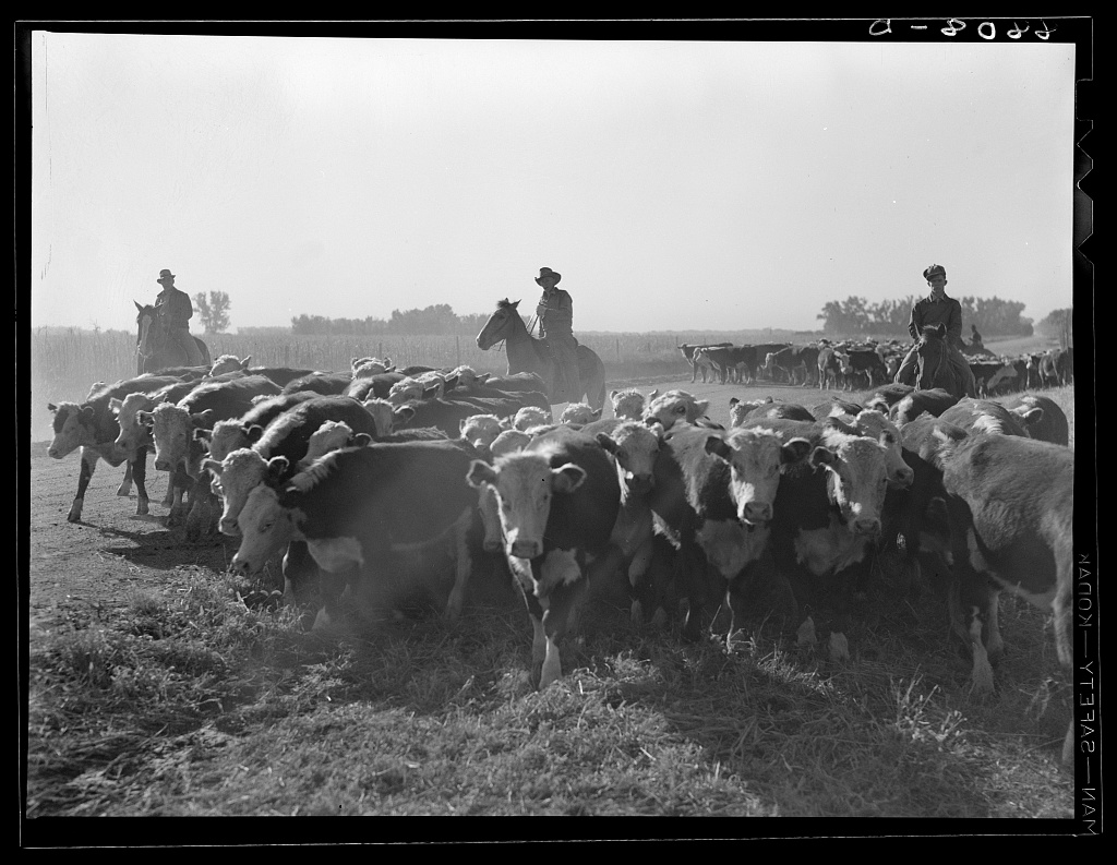 A black and white photo of three cowboys on horseback behind a group of a couple dozen cows, who seem to be moving toward the camera.