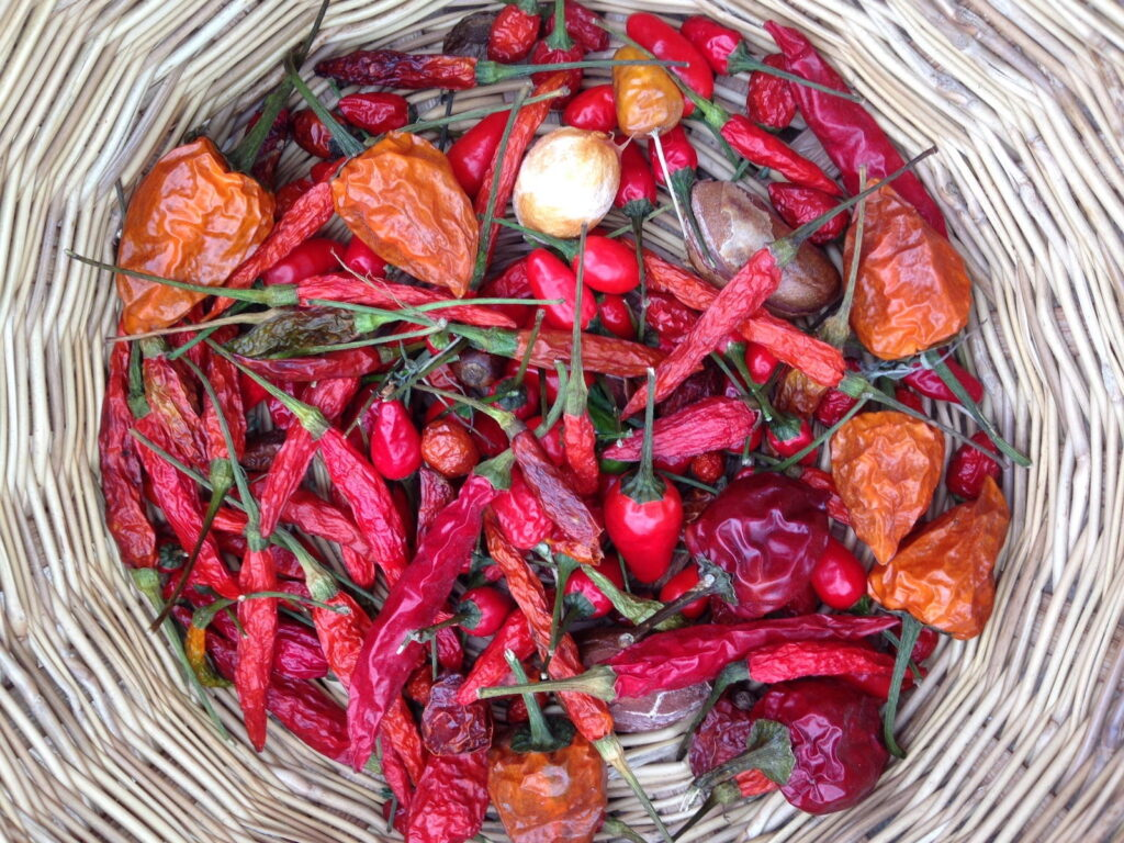 A wicker basket holds several dozen chile peppers of different shapes and sizes, most are red and orange.