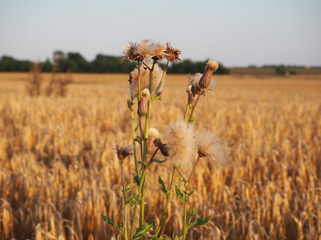 A tall seeding thistle plant in the foreground of a golden field of barley